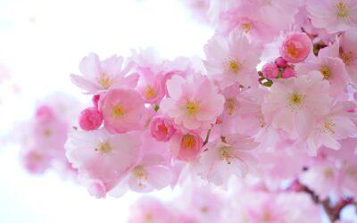 A tavaszi kanzashik Japánban